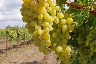 10 лучших винных сортов винограда