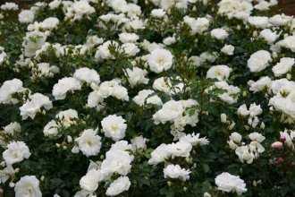 10 лучших почвопокровных роз