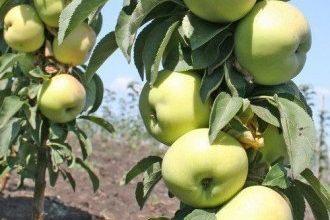 10 лучших сортов колоновидных яблонь