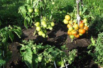 10 лучших сортов помидоров для открытого грунта