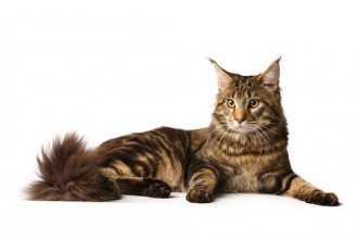 6 лучших пород кошек для детей