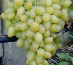 8 лучших сортов винограда